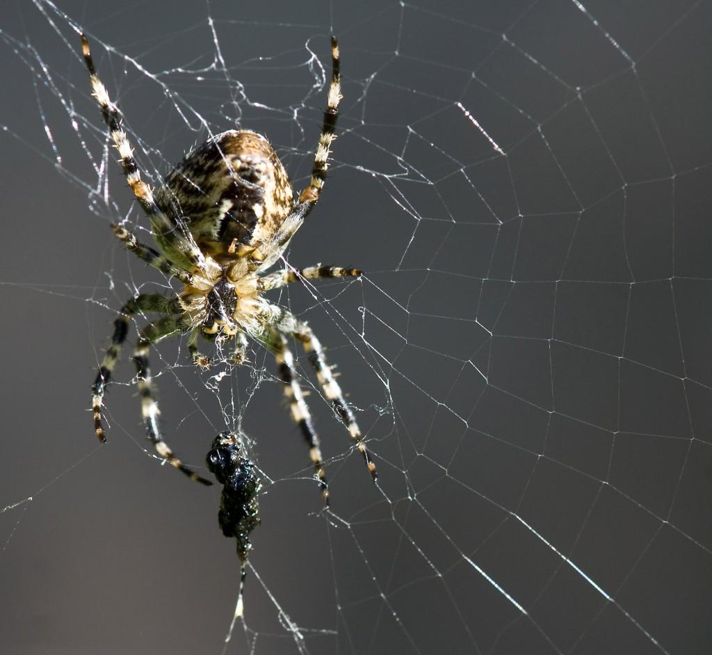 korsedderkoppen