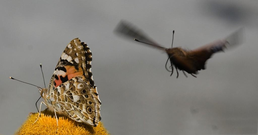 Tistelsommerfugl