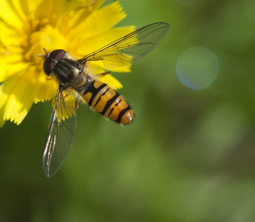Blomsterfluer