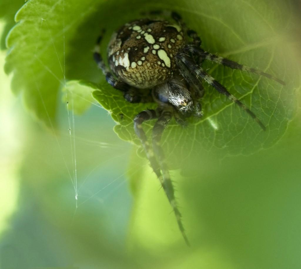 korsedderkopp