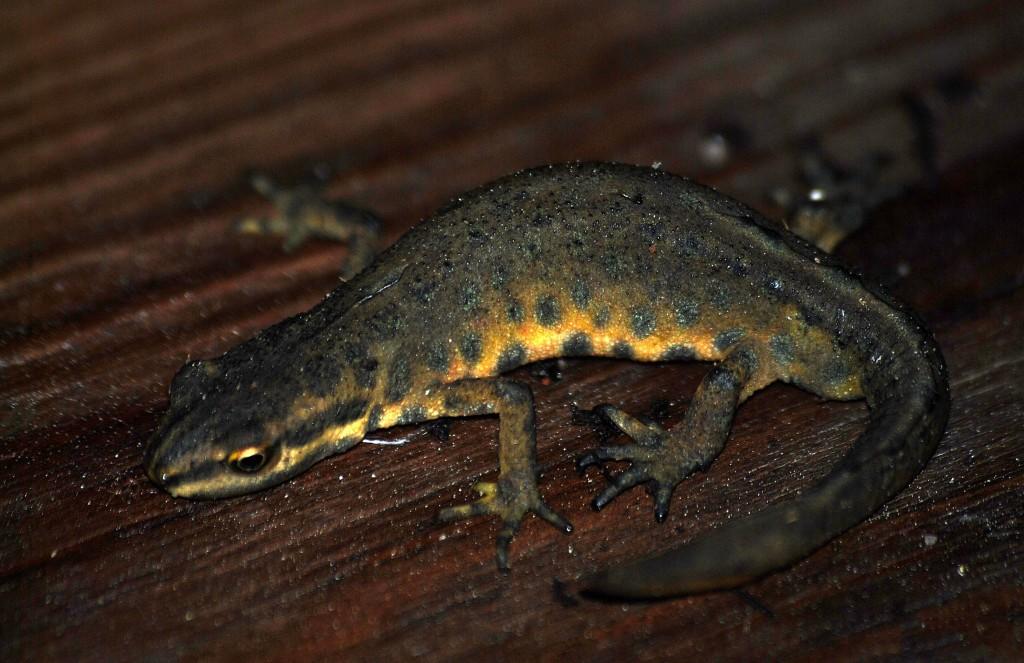 Liten Salamander