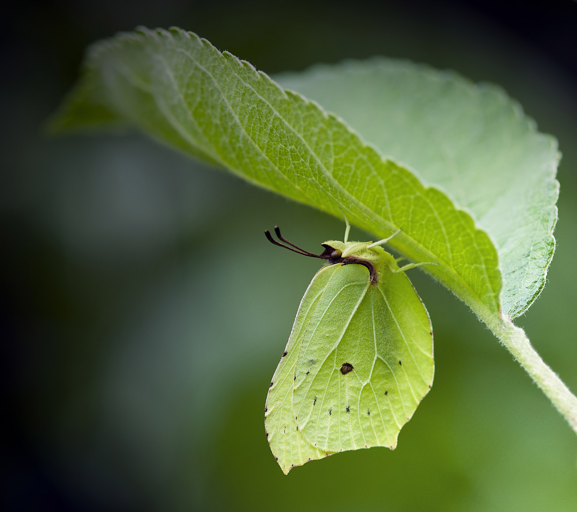Sitronsommerfugl II